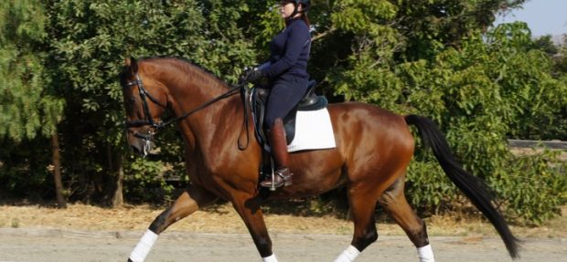 Competitive gelding headed for PSG